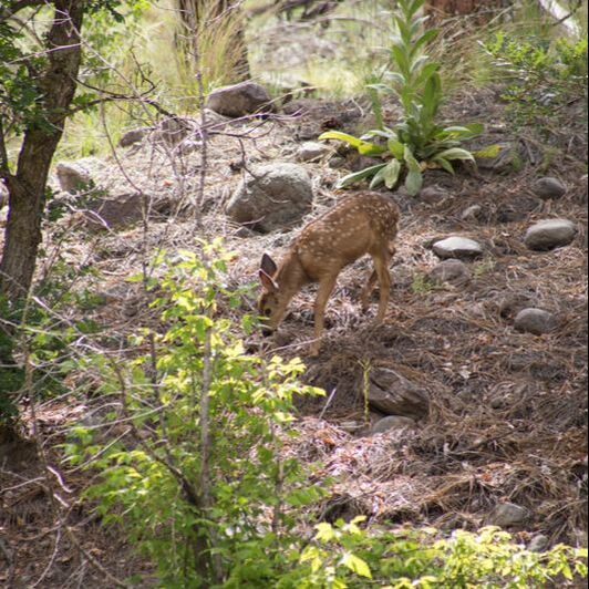 Photo of a faun in Bandelier National Monument